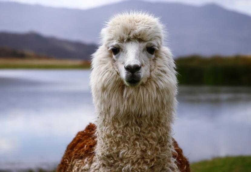 Перуанская лама